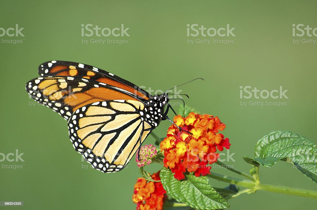 Monarch Butterfly Feeding on Lantana royalty-free stock photo