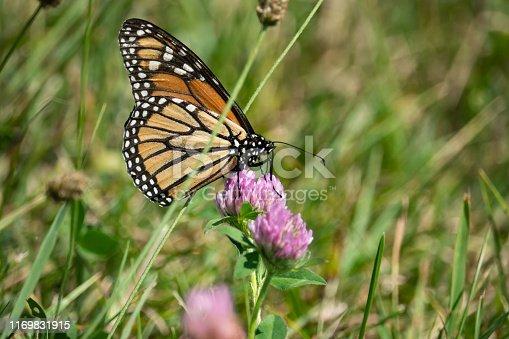 Monarch butterfly (Danaus plexippus) feeding on red clover (Trifolium pratense) flowers in summer.