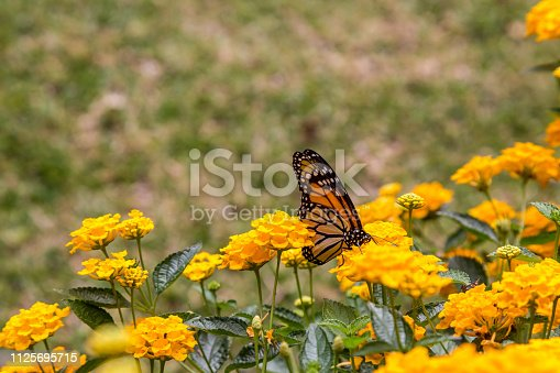 Monarch butterfly feeding on yellow  flowers in a garden