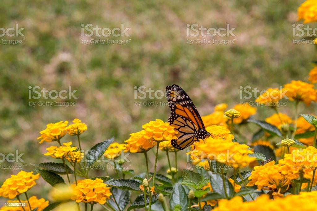 Borboleta monarca, alimentando-se de flores amarelas em um jardim - foto de acervo