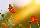 Monarch butterfly feeding on Zinnias