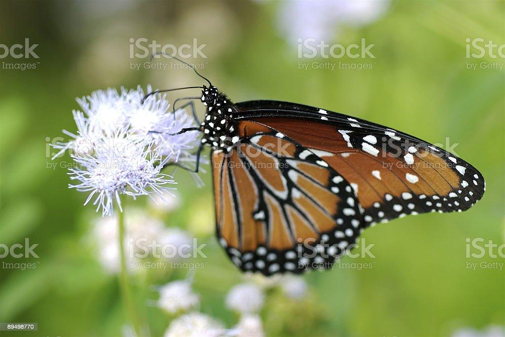 Monarch butterfly feeding royaltyfri bildbanksbilder