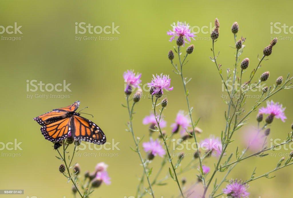 Fotografía de La Mariposa Monarca Se Alimenta De Pequeñas Flores De ...