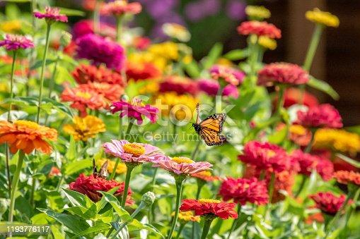 A Monarch Butterfly flies over the zinnia garden on a summer morning.