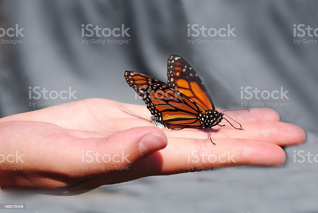 Monarch Butterfly Held in Hand stock photo