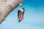 Monarch butterfly i(danaus plexippus) nside chrysalis cocoon, seconds before emerging