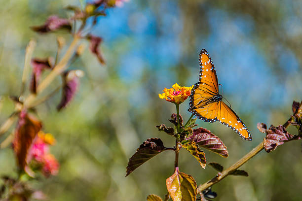 Monarch butterfly II stock photo