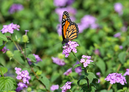 istock Monarch butterfly in a sea of lavender flowers 1073757168