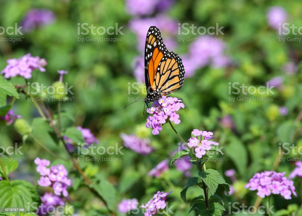 Monarch butterfly in a sea of lavender flowers stock photo
