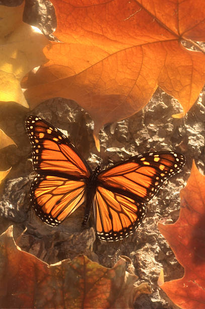 Monarch Butterfly in Autumn stock photo