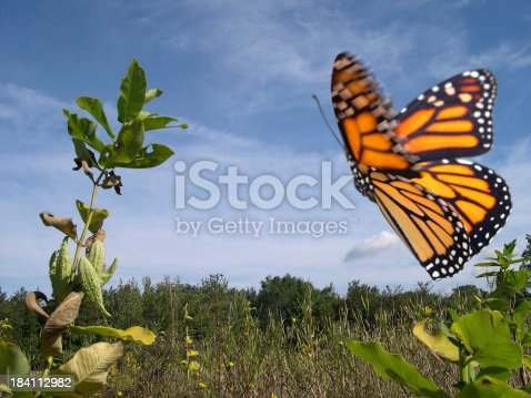 A flying monarch butterfly in a filed