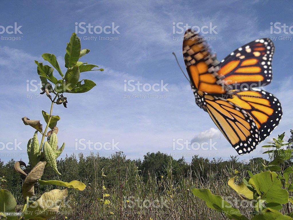 Monarch Butterfly in Flight stock photo