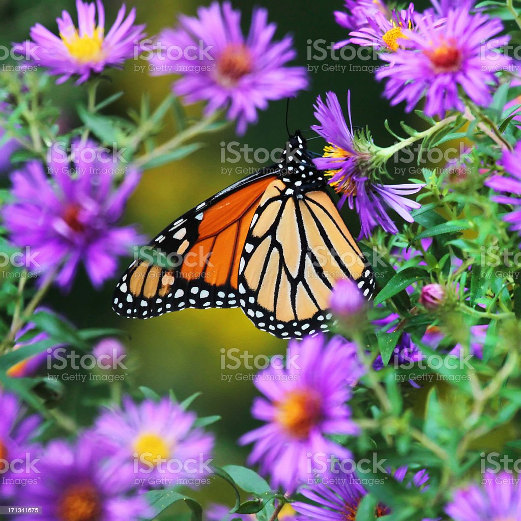 Monarch Butterfly in Flowers Square stock photo