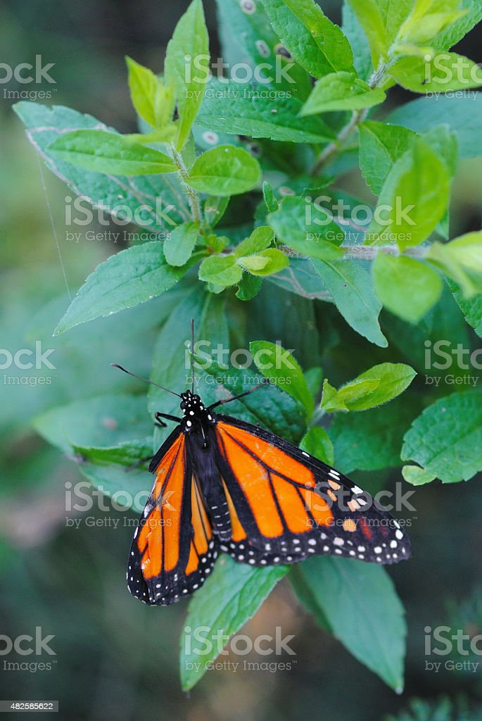 Monarch Butterfly in green foliage stock photo
