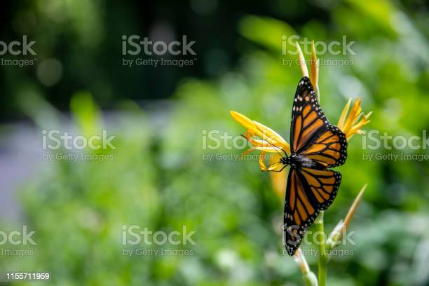 Monarch butterfly in hawaii picture id1155711959?b=1&k=6&m=1155711959&s=612x612&h=bgus713nkh6c ggti2qh2du8j4lwjfv67codpxp5nec=