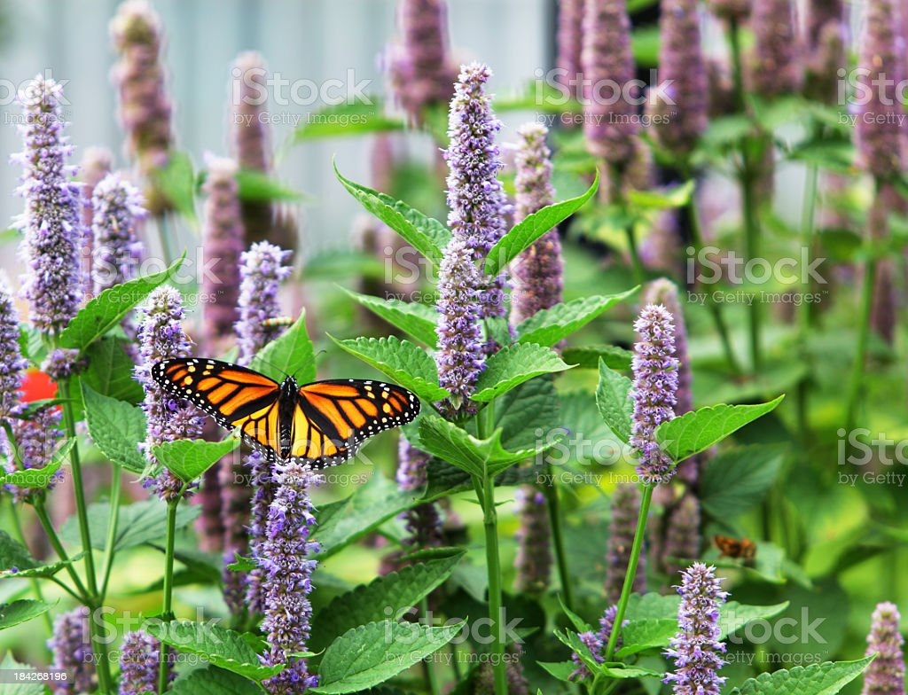 Monarch (Tiger plexippus) in Lavendel Anis Ysopkraut Blossom Forest – Foto