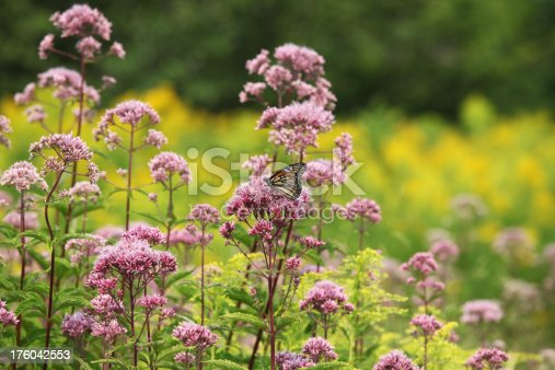 Monarch butterfly is in the center of this colorful landscape made up of  pink flowering Milkweed and Goldenrod.