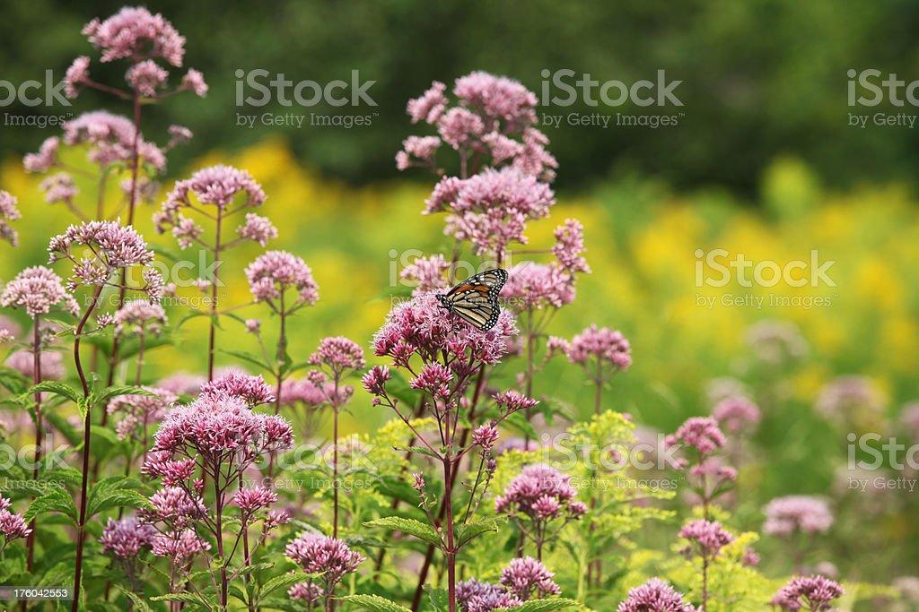 Monarch butterfly in meadow stock photo