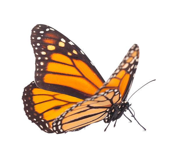 Monarch butterfly in standing position isolated on white picture id534942787?b=1&k=6&m=534942787&s=612x612&w=0&h=lcpfp6vuu5bsj6cgrjnxqyapaldzrqzdfnivzq0swig=