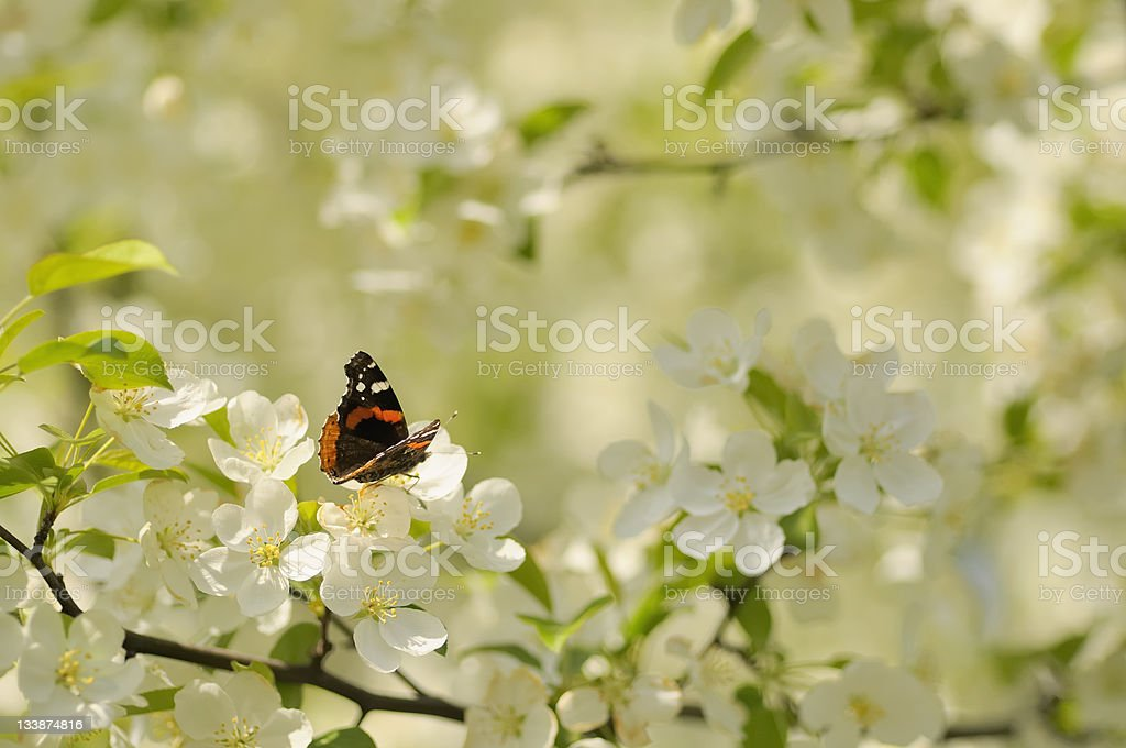 Monarch Butterfly in White Bradford Pear Tree Blossoms in Spring stock photo