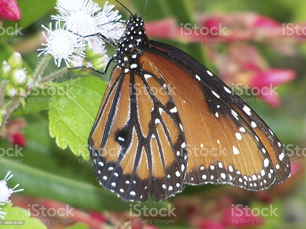 Monarch Butterfly In Wild Flowers Stock Photo & More