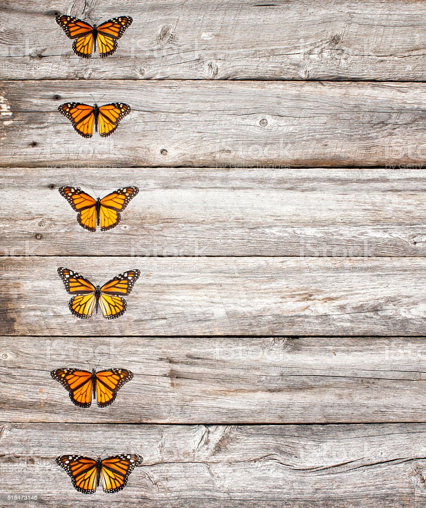 Monarch butterfly insects in a row on old rustic wood stock photo