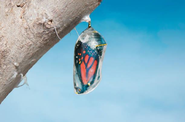 Monarch butterfly inside chrysalis cocoon seconds before emerging picture id941635240?b=1&k=6&m=941635240&s=612x612&w=0&h=icsqj4 r29khs2o0eegvjdckqecnqtewphntdpwdzzs=