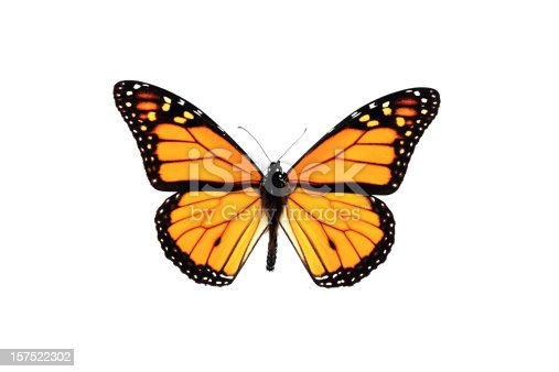 A DSLR photo studio shot of an orange Monarch Butterfly isolated on white background. The butterfly is orange, with black stripes, orange and white polka dots. It is perfect with spread wings and antennas.