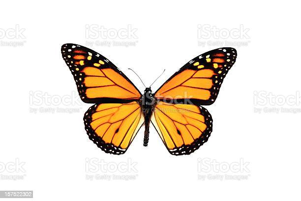 Monarch butterfly isolated on white background picture id157522302?b=1&k=6&m=157522302&s=612x612&h=9wdogfzlczqk0mqe94lzl5mfem2lifrpp7yelsibayg=