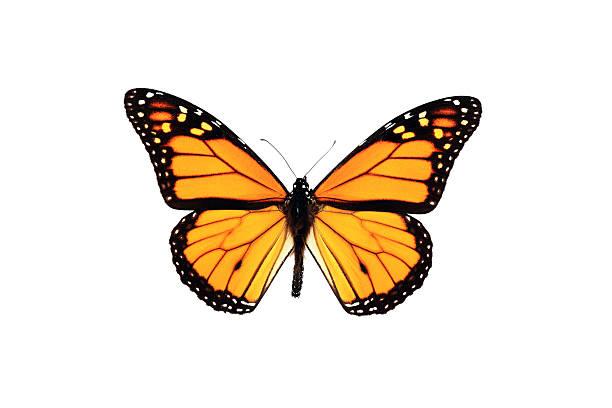 monarchfalter isoliert auf weißem hintergrund - schmetterling stock-fotos und bilder