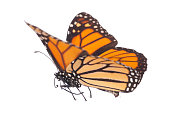 Monarch Butterfly Isolated On White