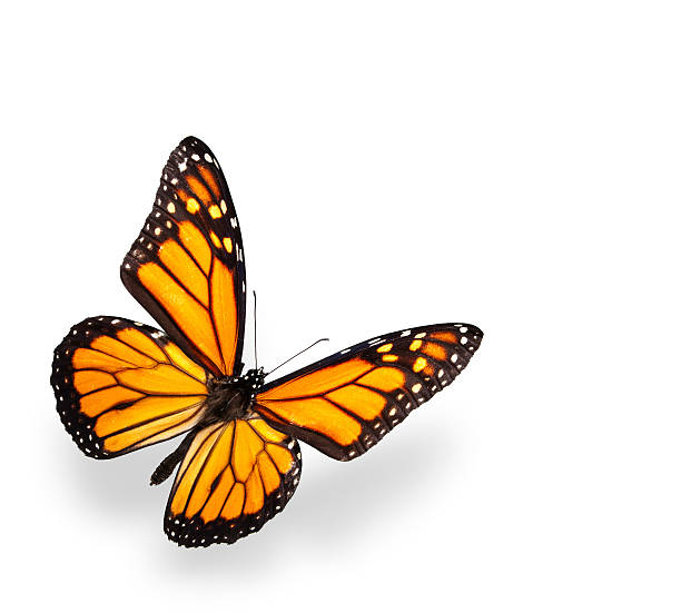 mariposa monarca aislado en blanco con sombras suaves - mariposa fotografías e imágenes de stock