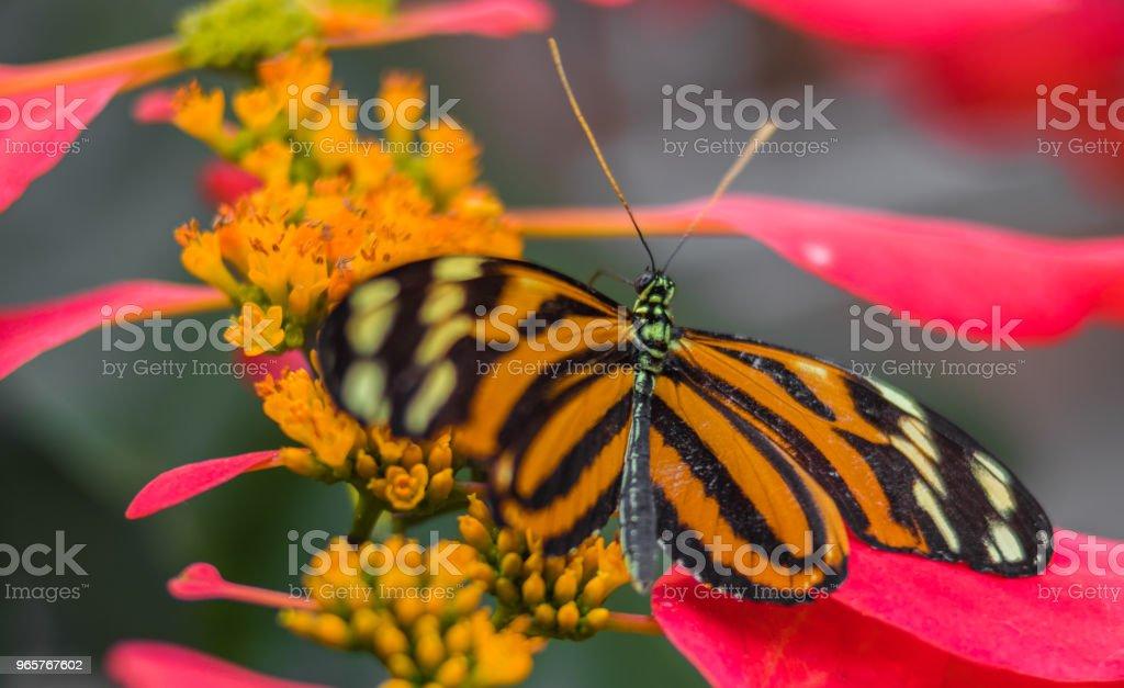 Monarch vlinder Landing op een bloem - Royalty-free Asteroideae Stockfoto