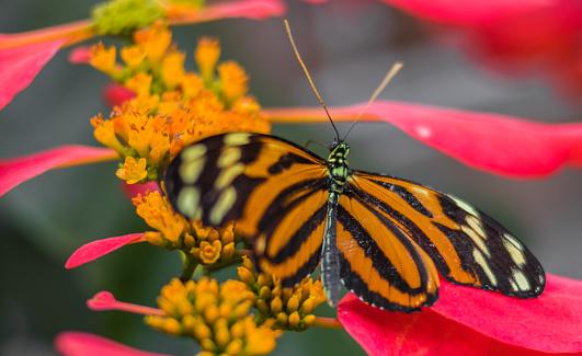 Monarch Vlinder Landing Op Een Bloem Stockfoto en meer beelden van Asteroideae