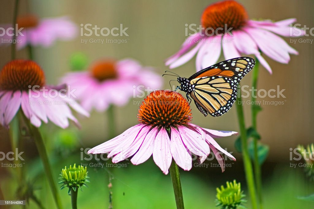 A Monarch butterfly landing on a wildflower Monarch butterfly closeup on purple coneflower in garden Animal Stock Photo