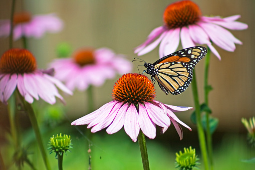 A Monarch Butterfly Landing On A Wildflower Stock Photo - Download Image Now