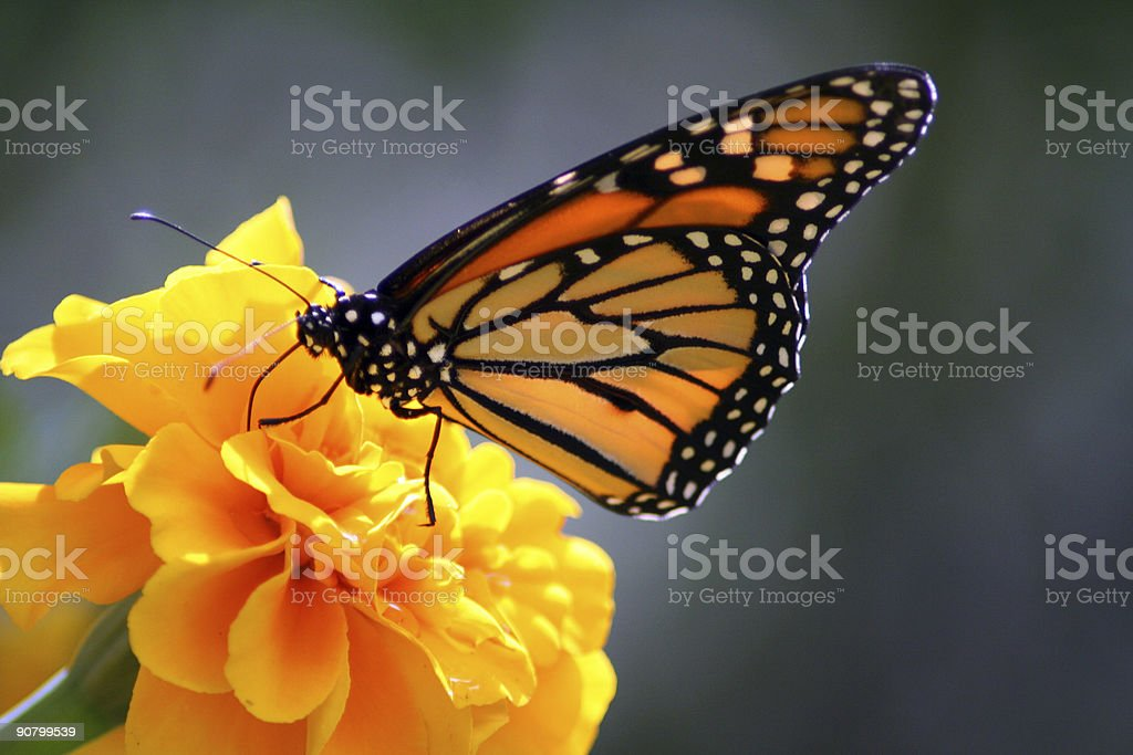 Monarch butterfly landing on flower - Royalty-free Animal Wing Stock Photo