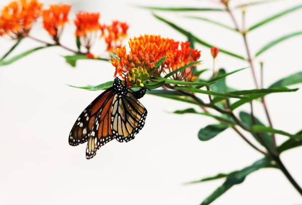 Monarch butterfly laying eggs picture id827135340?b=1&k=6&m=827135340&s=612x612&w=0&h=inqkbpxb7xqgfpju6lbqpotbiyjum5 iqm6tpjspb c=