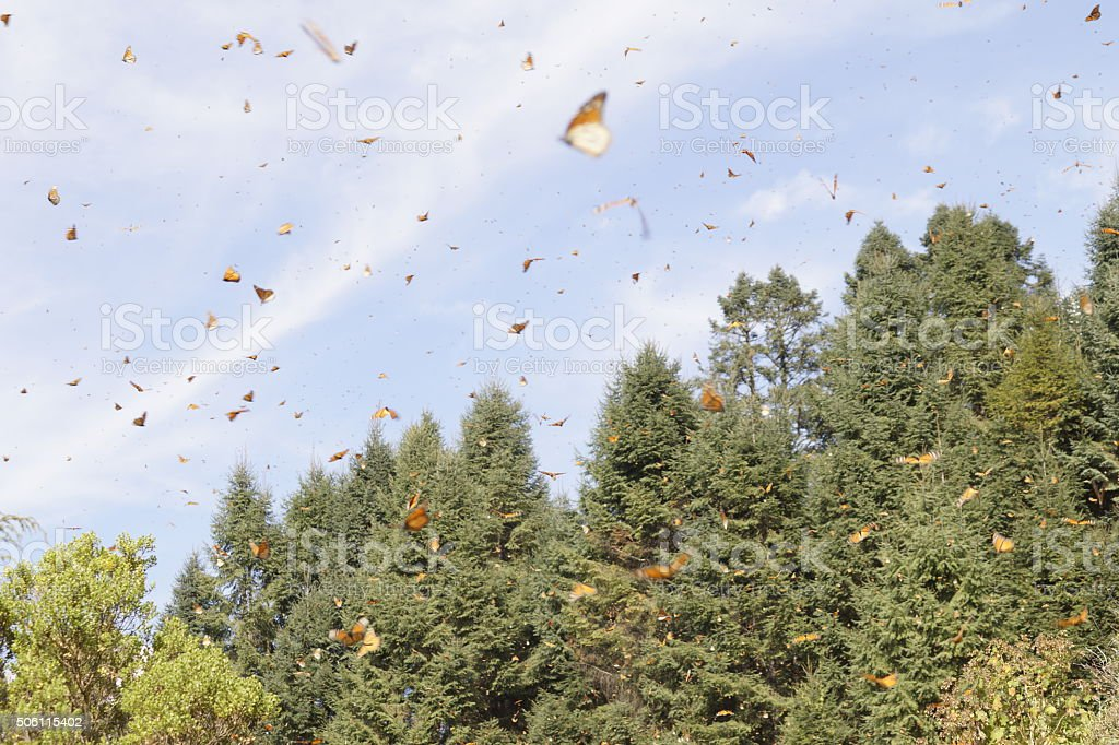 Mariposa Monarca; Mariposa Monarca - foto de stock