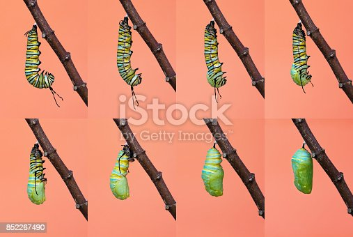 538988558istockphoto Monarch butterfly metamorphosis from caterpillar to chrysalis 852267490
