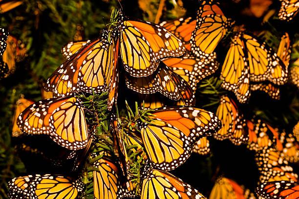 Monarch butterfly migration picture id157611073?b=1&k=6&m=157611073&s=612x612&w=0&h=zmk32r9hshuiyyvmczg j8jrwok0agjsdrnahfliegu=