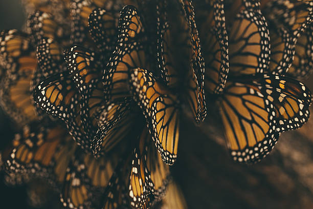 Monarch Butterfly Migration stock photo
