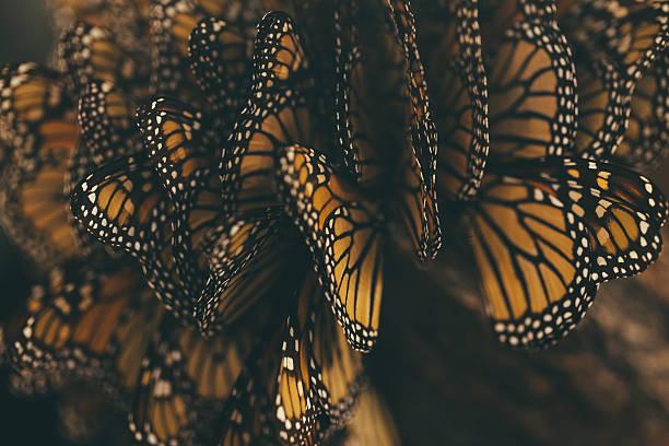 farfalla monarca migrazione - farfalla ramo foto e immagini stock