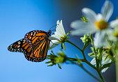 Monarch Butterfly California Beauty