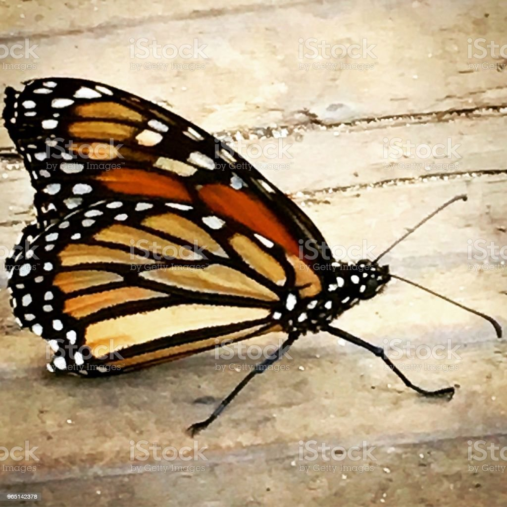 Monarch Butterfly Natural Bridges State Beach CA royalty-free stock photo