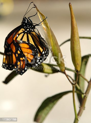 Monarch cling to milkweed seed pod in the sun trying to dry it's new wings after just hatching.