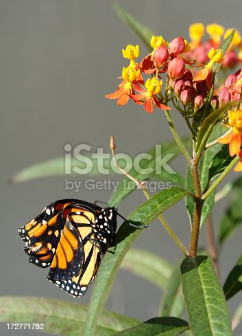 A Newly hatched Monarch clings to a milk weed plant trying to dry it's new wings in the warm sun