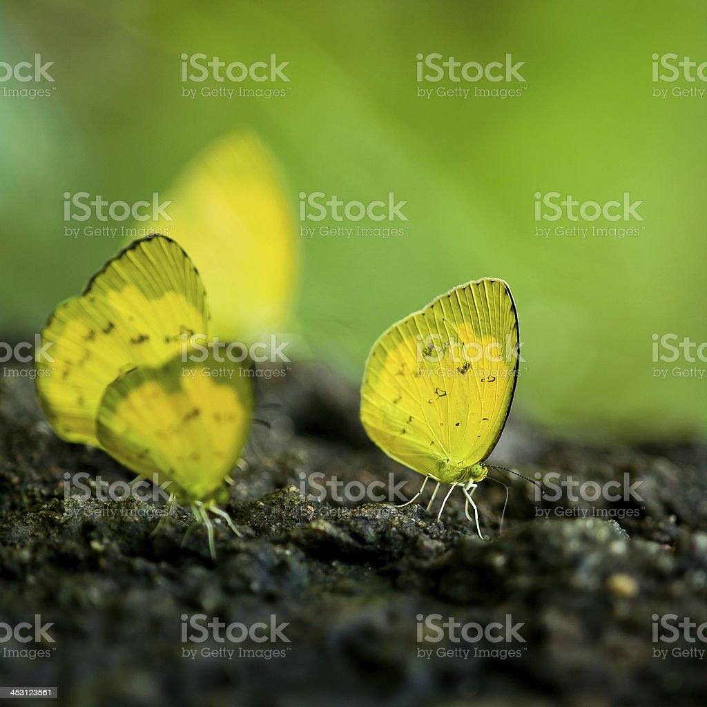 monarch butterfly on a Black-eyed royalty-free stock photo