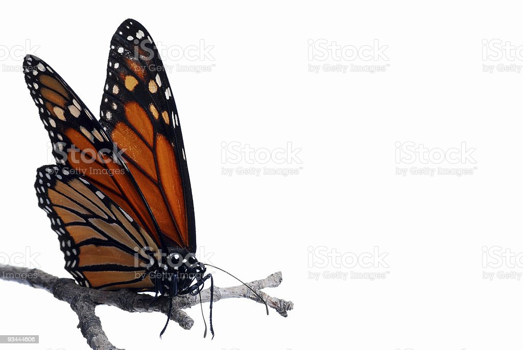 Monarch butterfly on a branch Isolated royalty-free stock photo