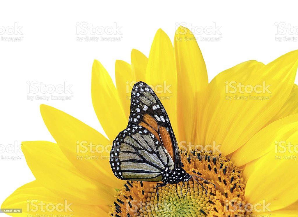 Monarch butterfly on a bright yellow sunflower royalty-free stock photo